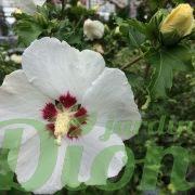 Fleur et bouton