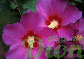 Hibiscus syriacus Violet Satin