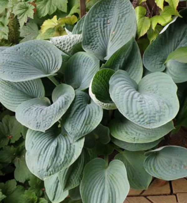 hosta-big-daddy.jpg