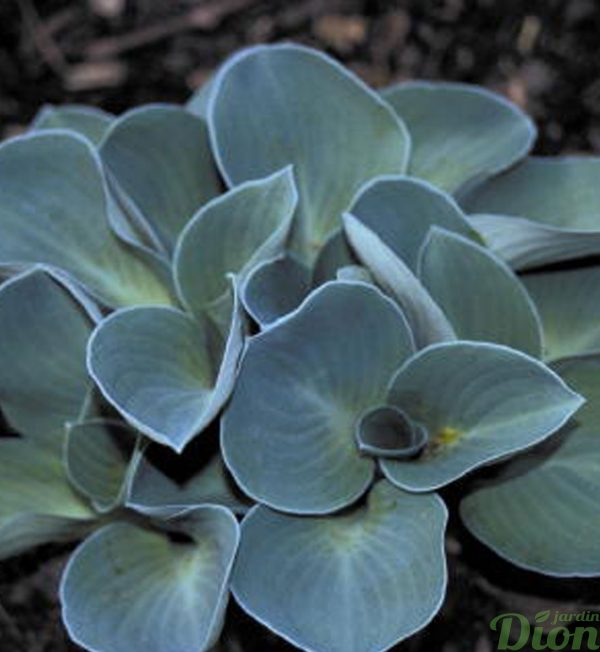 hosta-blue-mouse-ears.jpg