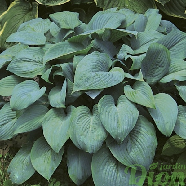 hosta-fragrant-blue.jpg