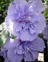 hybiscus-syriacus-ketmie-blue-chiffon.jpg