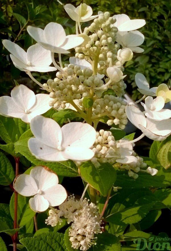 hydrangea_fire and ice_fleur en été_hydrangée