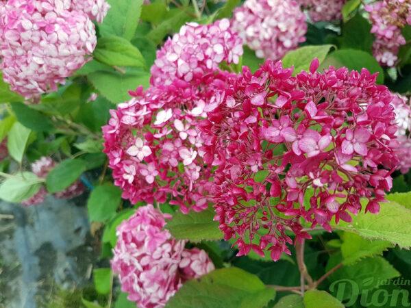 Hydrangea arborescens 'Bella Anna,