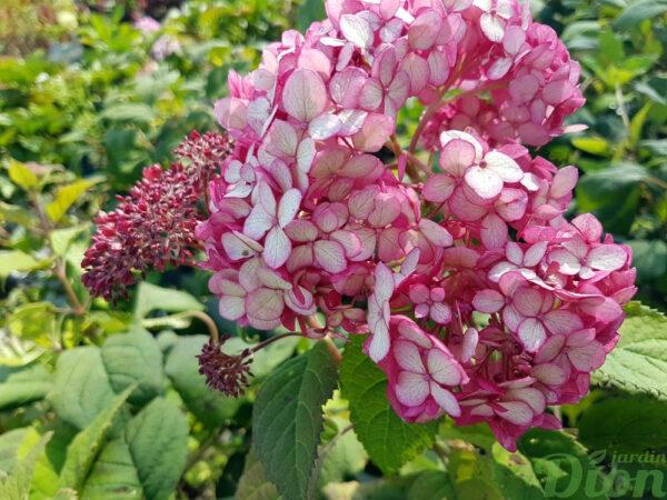 Hydrangea arborescens 'Invincibelle ruby»