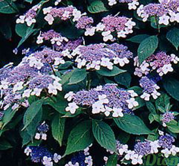 Hydrangea macrophylla 'Twist-n-shout'