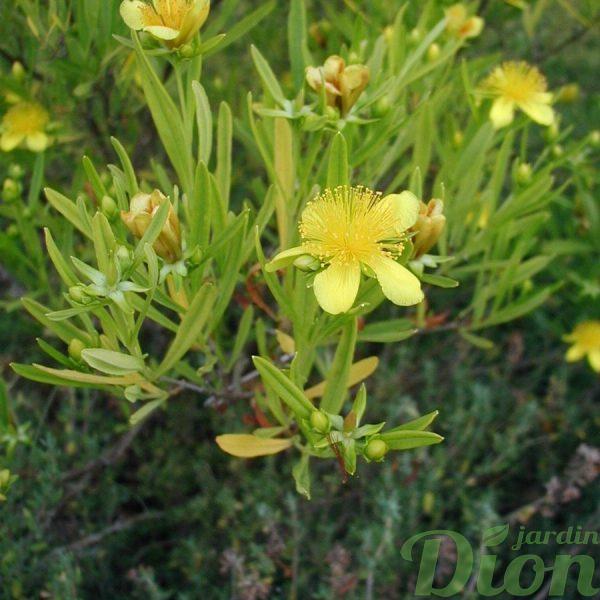Hypericum kalmianum 'Gem'