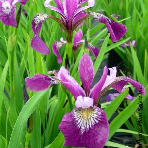 iris-versicolor.jpg