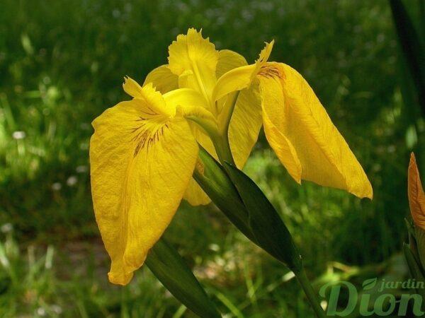 iris_pseudacorus_jaune-humides-bassin