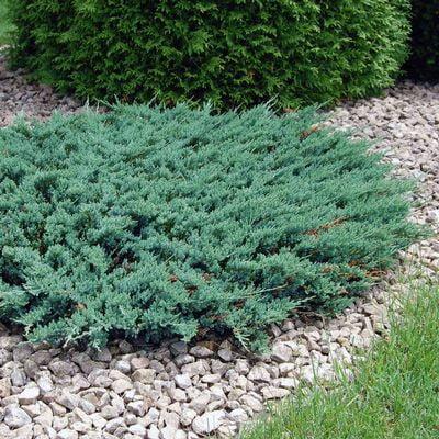 juniperus-horizontalis-wiltonii-jenevrier-wiltonii.jpg