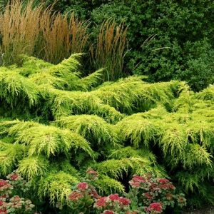 juniperus-pfitzeriana-gold-star-genevrier-gold-star.jpg