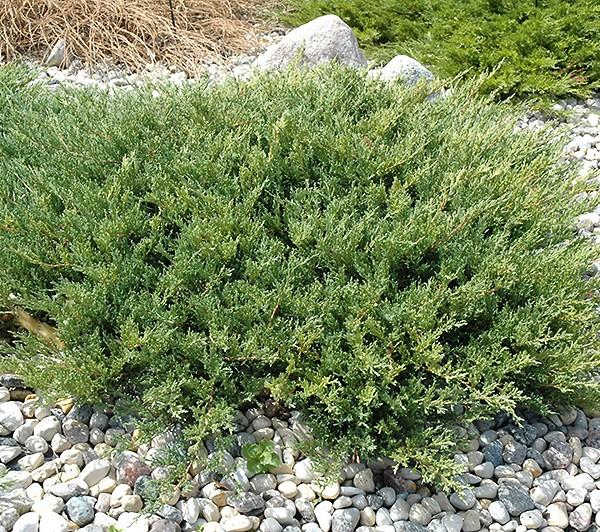 juniperus-plumosa-andorra-compacta-genevrier-plumosa-compacta.jpg