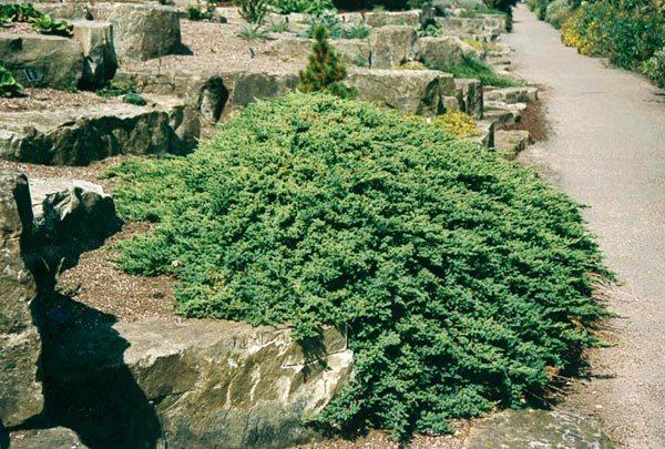 juniperus-procumbens-nana-genevrier-nain-japonais.jpg