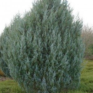 juniperus-scopulorum-witchita-blue-genevrier-witchita-blue-300×300