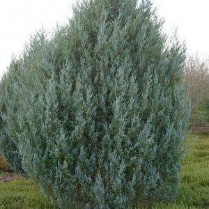 juniperus-scopulorum-witchita-blue-genevrier-witchita-blue-300×300