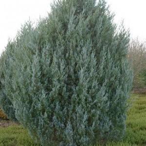 juniperus-scopulorum-witchita-blue-genevrier-witchita-blue.jpg