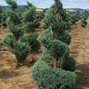 juniperus-witchita-spirale.jpg