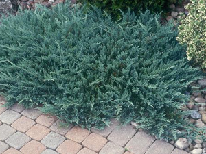 juniperus_horizontalis_blue_chip_genevrier_blue_chip.jpg