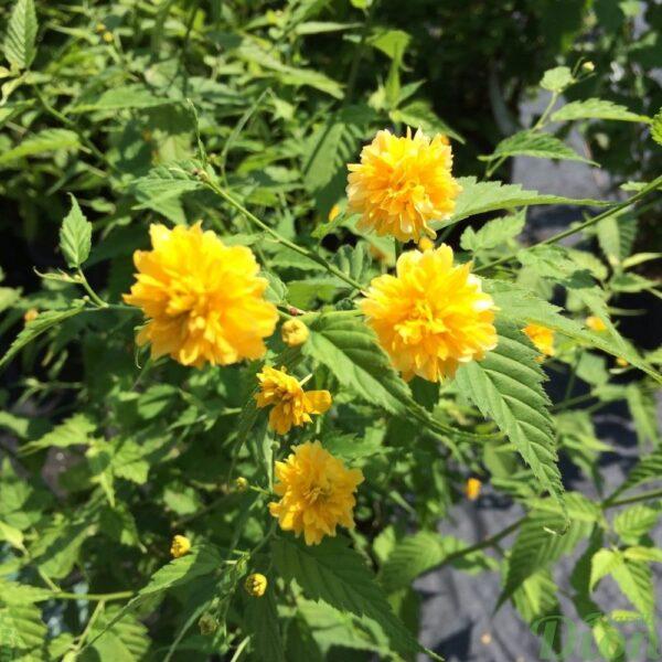 Corête du Japon Pleniflora