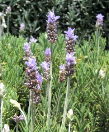 lavande-anglaise-lavandula-angustifolia.jpg