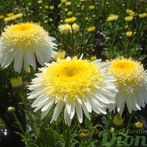 leucanthemum-real-glory.jpg