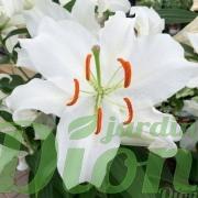 lilium-oriental-casablanca-lys-lis