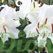 lilium-oriental-casablanca-lys-lis-4