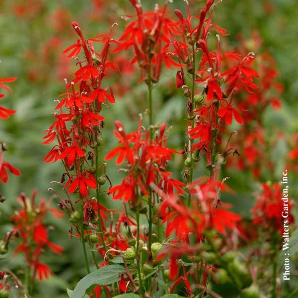 lobelia-cardinalis.jpg