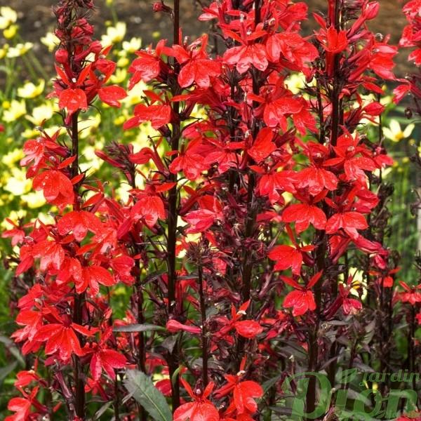 lobelia-fan-scarlet.jpg