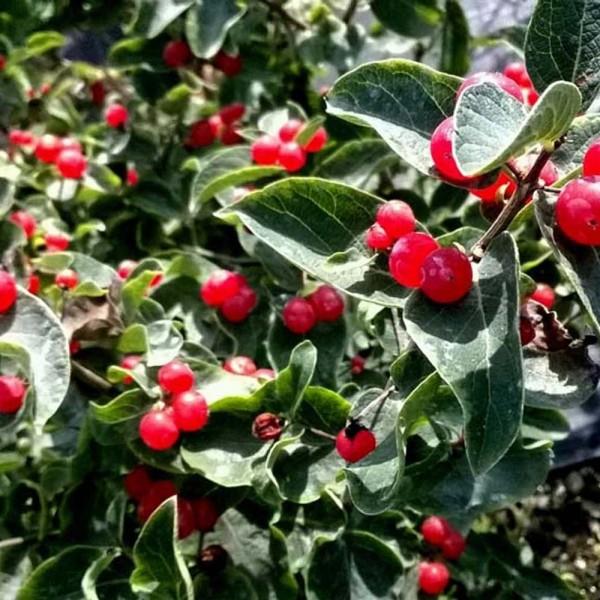lonicera-chèvrefeuille-clavey's dwarf-fruits