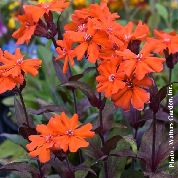 lychnis-orange-gnome.jpg