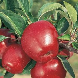 malus-delicieuse-rouge-pommier-delicieuse-rouge.jpg