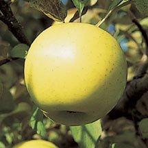 malus-honey-gold-pommier-honey-gold.jpg