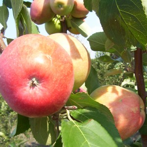 malus-norland-pommier-norland.JPG