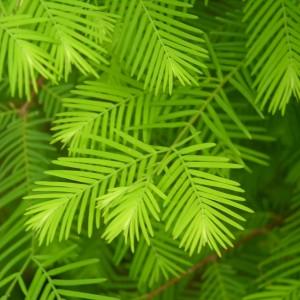 metasequoia-glyptostroboides-sequoia-oriental.jpg