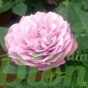 Fleur triple, couleur lavande
