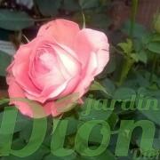 Rose-corail