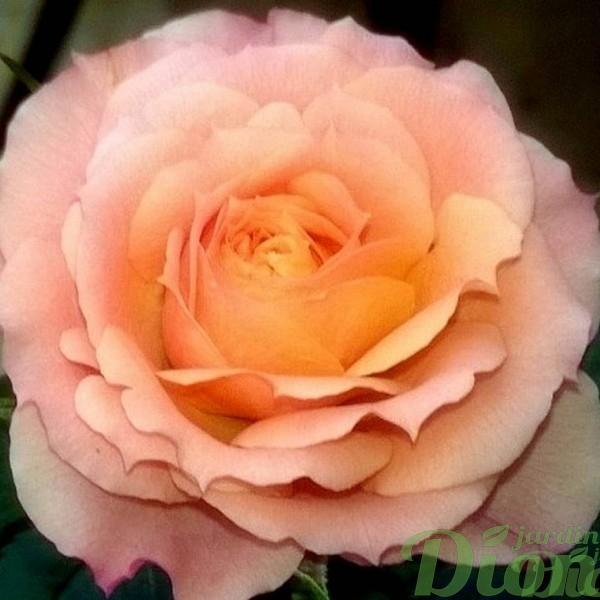 mini-rosier-rosa-saumon-rose-vivace-st-valentin-fetes des mere-paques
