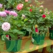 mini-rosier-rosa-vivace-st-valentin-fetes des mere-paques