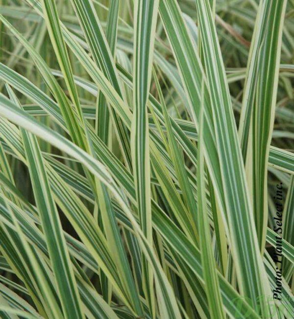 miscanthus-s.variegatus.jpg