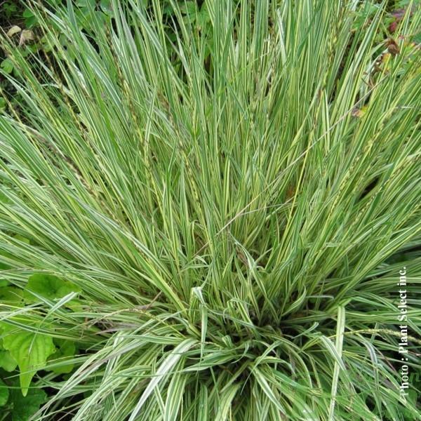 molinia-caerulea-variegata.jpg