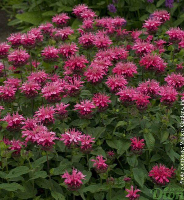 monarde-pink-lace.jpg