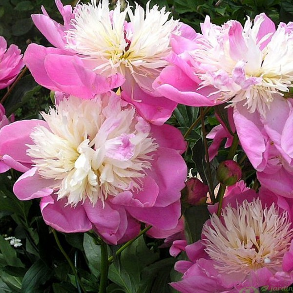 paeonia-bowl-of-beauty.jpg