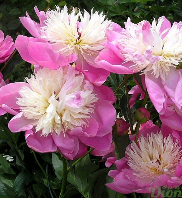 paeonia-bowl-of-beauty.jpg