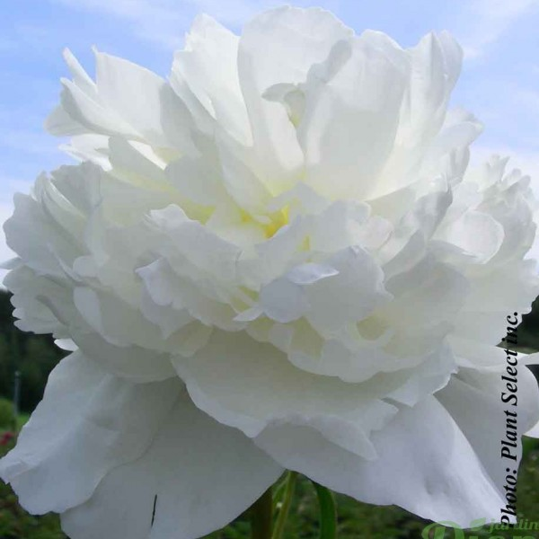 paeonia-l.duchesse-de-nemours.jpg