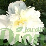 paeonia-lactiflora-duchesse-de-nemours-pivoine