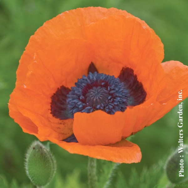 papaver-prince-of-orange.jpg