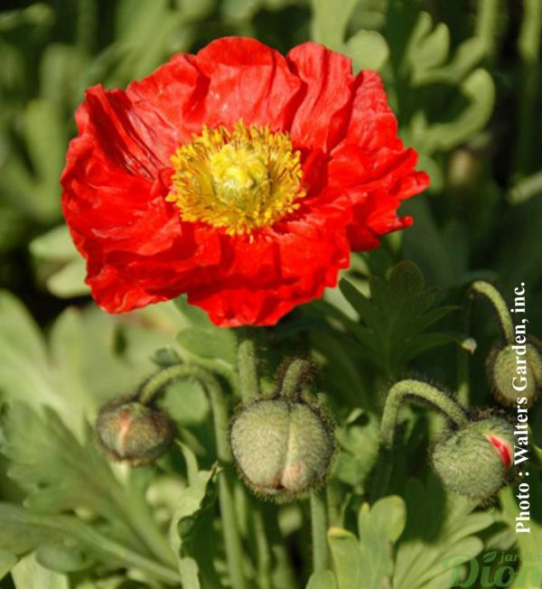 papaver-spring-fever-red.jpg