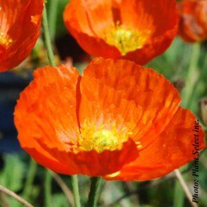 papaver-summer-breeze-orange.jpg