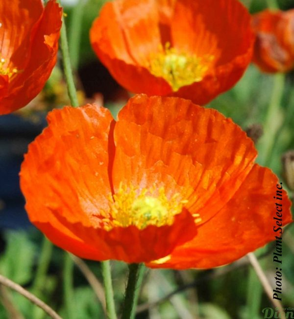 papaver-summer-breeze-orange.jpg